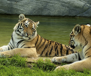 tiger, tijger, and tigers image