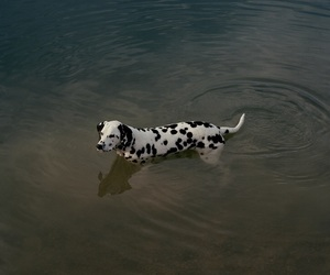 dog, dalmatian, and theme image