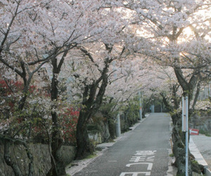 japan, nature, and sakura image