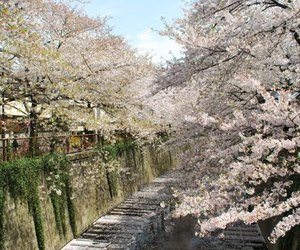 nature, cherry blossoms, and pathway image