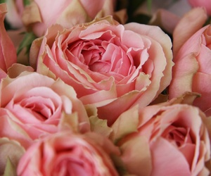 beautiful, pink, and pink roses image