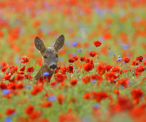 deer, nature, and poppy image