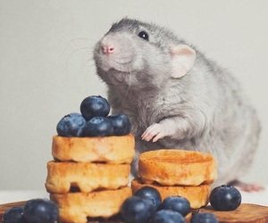 rat, berries, and blueberry image