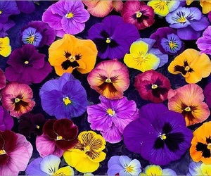 pansy, flowers, and beautiful image