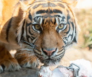 animal, big cats, and hypnotic image