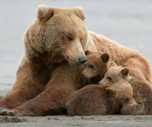 animals, bear, and cubs image