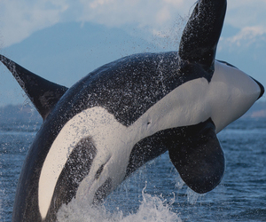 orca image