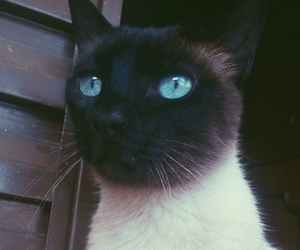 animal, blue eyes, and cat image