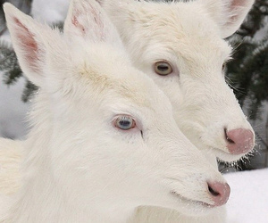 goats and white image