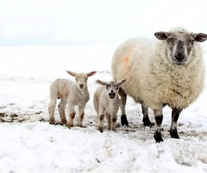 sheep, snow, and winter image