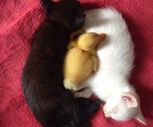 duck, kitten, and animals image