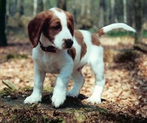 animal, brown, and puppy image