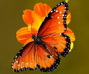 butterfly's - orange image