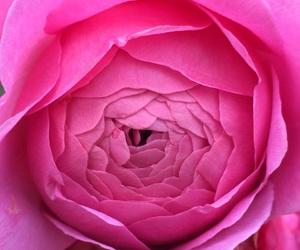 life, rose, and nature image