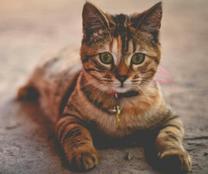 cat, animal, and brown image