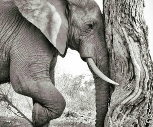 animals, black and white, and elephant image