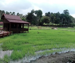 Amateur Photography and paddy field image