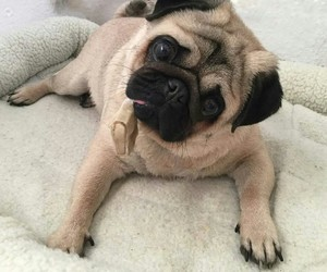 dogs, funny dogs, and mops image