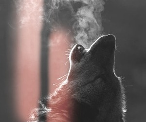 wolf, animal, and black and white image