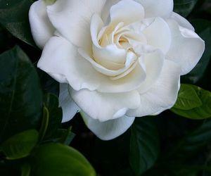 gardenia, flower, and white image