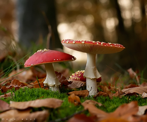 amanita muscaria, nature, and autumn image