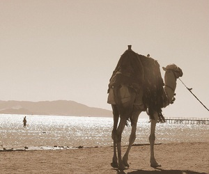 beauty, camel, and nature image