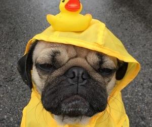 dog, duck, and pug image