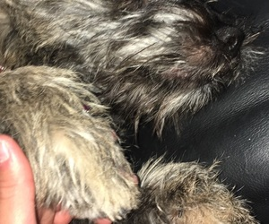 baby, cairn terrier, and cute image