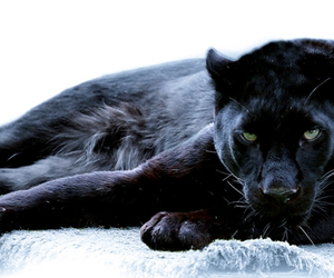 black panther, panther, and animal image