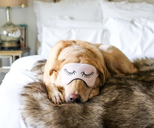 adorable, cozy, and golden retriever image