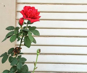red, rosa, and reses image