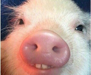 pig, funny, and animals image