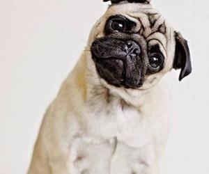 pug and dog image