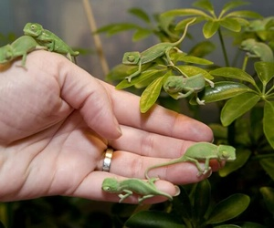 chameleon, animal, and green image