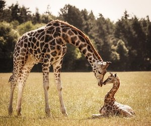 giraffe and animals image