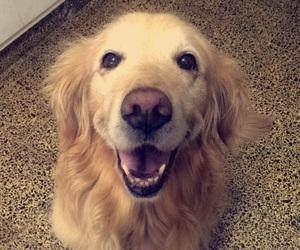 dog, golden retriever, and smile image