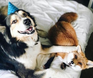 animals, fox, and birthday image