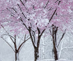 Pink blossoms in snow