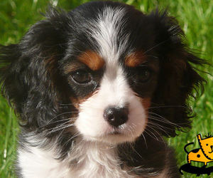 dog, puppy, and cavalier king charles spaniel image