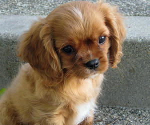 dog, spaniel, and cute image