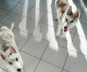 dogs, puppy, and husky image