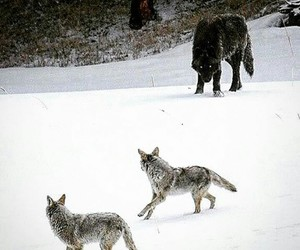 animals and wolf image