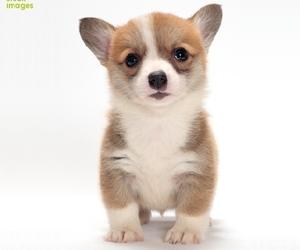 baby animals, corgi, and dogs image