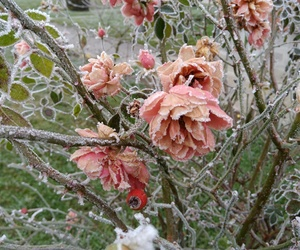 brrr, cold, and roses image