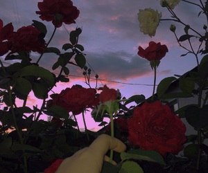 roses and sunset image