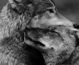 wolf, love, and animal image