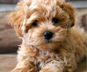 adorable, curly, and puppy image