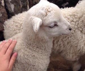 animal, sheep, and cute image