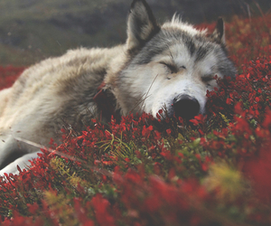 wolf, flowers, and animal image