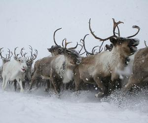 winter, animal, and reindeer image